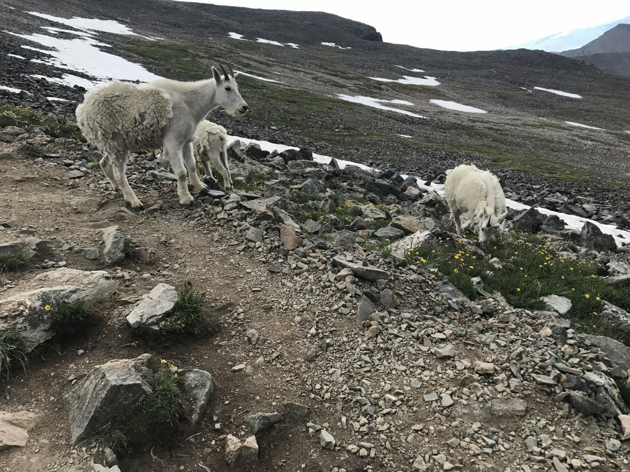 Quandary Peak mountain goats