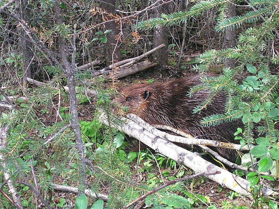 Horseshoe Lake beaver - Denali National Park Hike