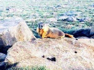 White Mountain marmot