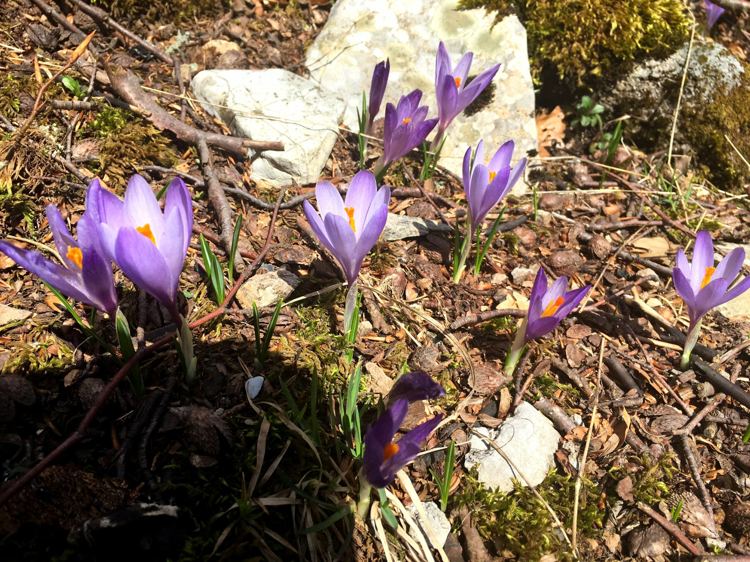 crocuses on Crveni Kuk