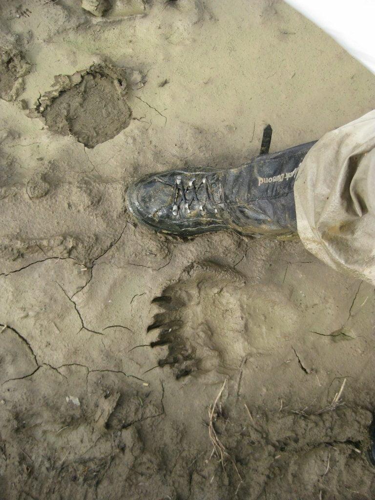Chitna Pass bear footprints