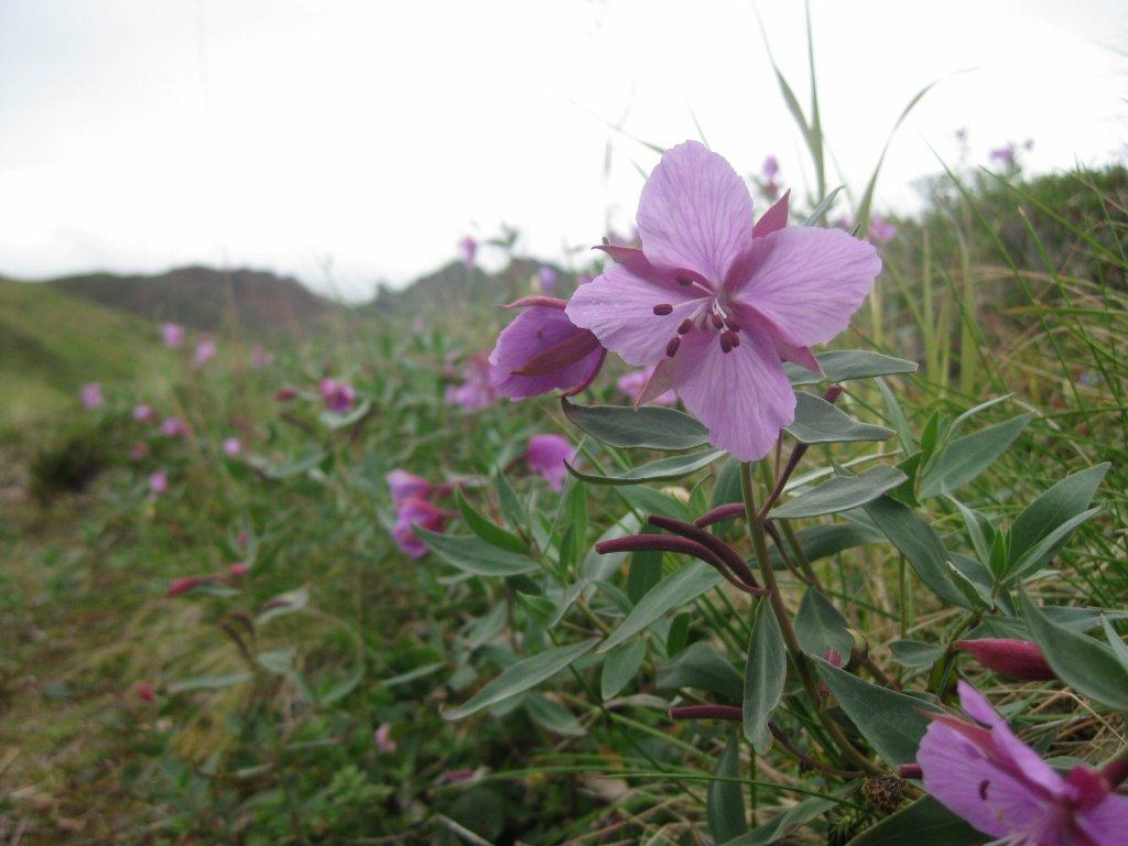 Chitna Pass flowers