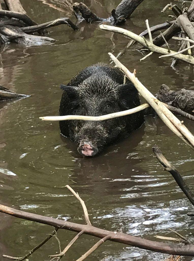 honey island wild pig
